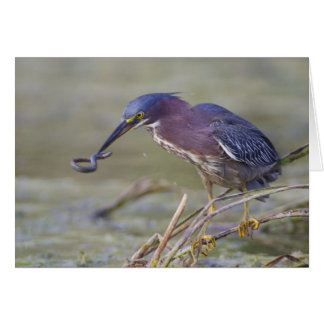 Green Heron Catching Salamander Card