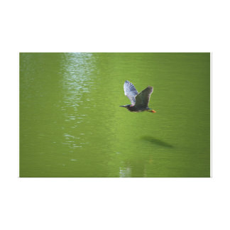 Green Heron In Mid Air Stretched Canvas Print