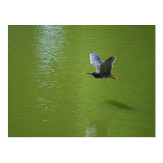 Green Heron In Mid Air Postcard