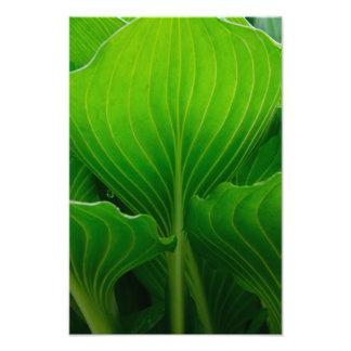 Green Hosta Leaf Photo Print