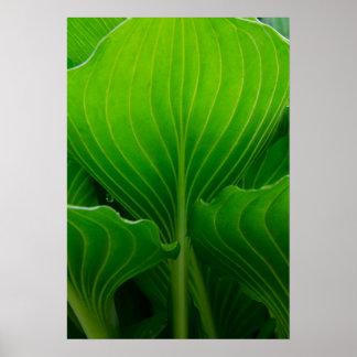 Green Hosta Leaf Poster