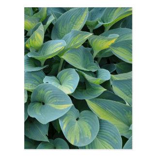 Green hosta plant print postcard