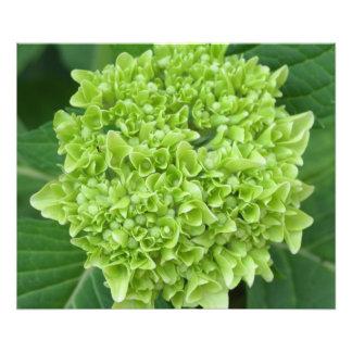 Green Hydrangea Photo Print