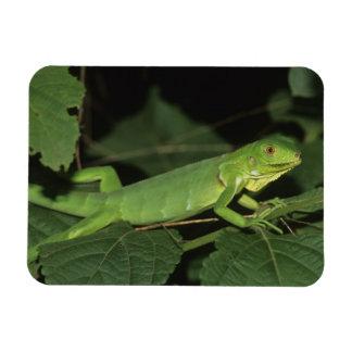 Green Iguana, (Iguana iguana), Common Iguanas Flexible Magnet
