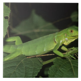 Green Iguana, (Iguana iguana), Common Iguanas Tile