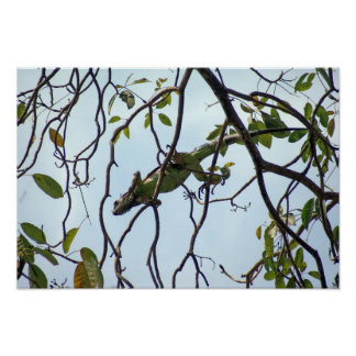 Green Iguana in Tree Twigs Poster