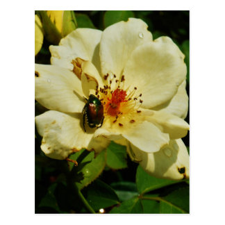 Green Japanese Beetle on Yellow Rose floral Postcard