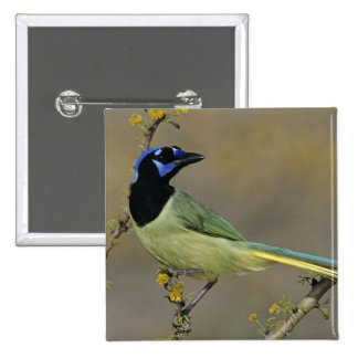 Green Jay, Cyanocorax yncas, adult on blooming Pinback Button