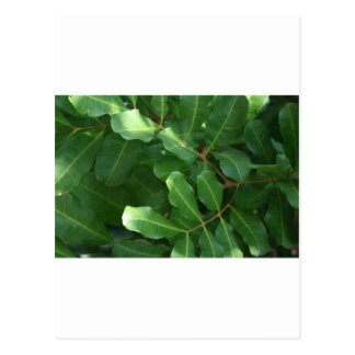 Green Leaf Closeups Postcard