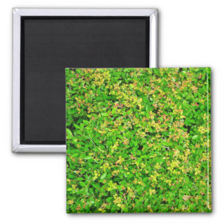 Green leaves from Japanese holly bush 2 Inch Square Magnet