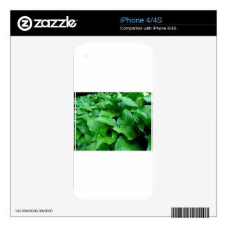 Green Leaves. iPhone 4 Skin