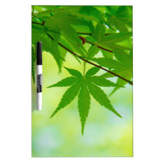 Green leaves of Japanese maple Dry Erase Board