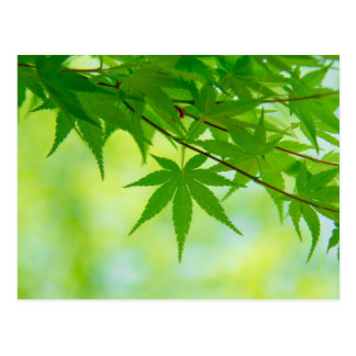 Green leaves of Japanese maple Postcard