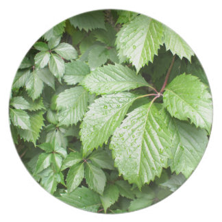 Green leaves of wild grapes with water droplets melamine plate