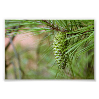 Green Long Leaf Pine Cone Poster