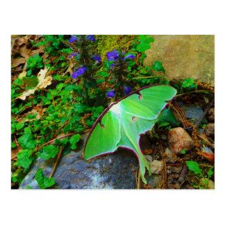 Green Luna moth Postcards