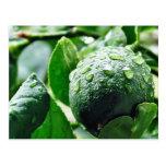 Green Meyer Lemon Post Card
