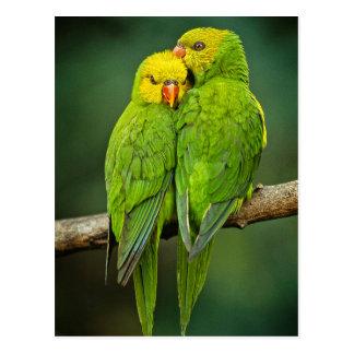 Green Parrots Love Birds Photography Postcard