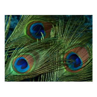 Green Peacock Feathers Postcard