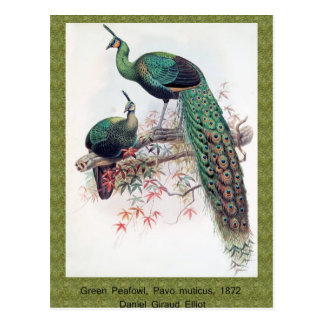 Green Peafowl, Pavo muticus, 1872 monograph of Pha Post Card