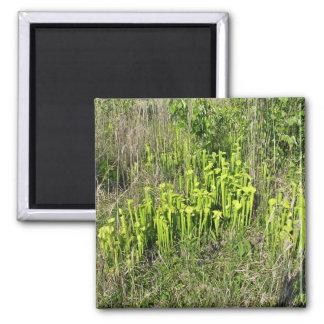 Green pitcher plant bog (Sarracenia oreophila) Refrigerator Magnets