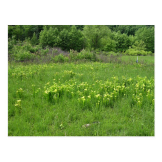 Green pitcher plant (Sarracenia oreophila) habitat Postcard