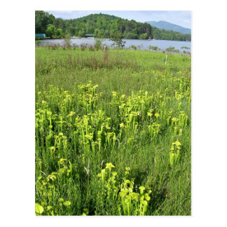Green pitcher plant (Sarracenia oreophila) Postcard