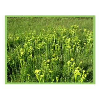 Green pitcher plants (Sarracenia oreophila) Postcard