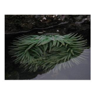 Green Sea Anemone Post Card