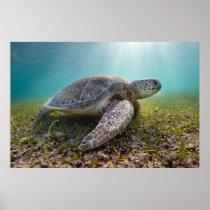 Green Sea Turtle At Dusk | Akumal Bay Poster