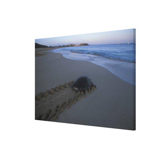Green Sea Turtle, (Chelonia mydas) female Canvas Print