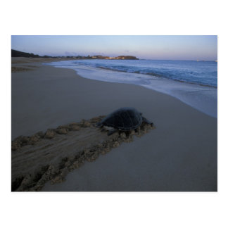 Green Sea Turtle, (Chelonia mydas) female Postcard