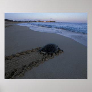 Green Sea Turtle, (Chelonia mydas) female Poster