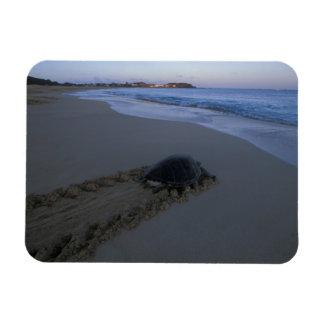 Green Sea Turtle, (Chelonia mydas) female Rectangular Photo Magnet