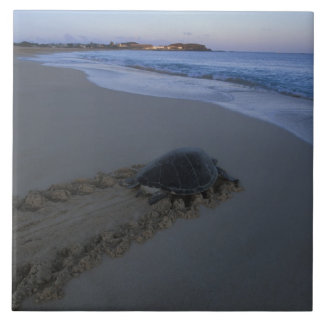 Green Sea Turtle, (Chelonia mydas) female Large Square Tile