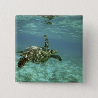 Green Sea Turtle, (Chelonia mydas), Kona Coast, Button