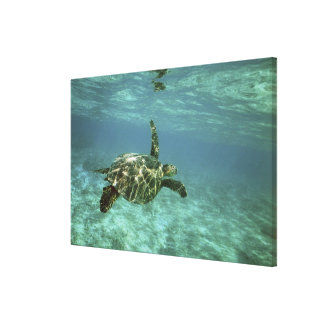 Green Sea Turtle, (Chelonia mydas), Kona Coast, Canvas Print