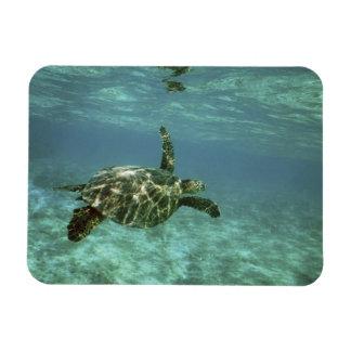 Green Sea Turtle, (Chelonia mydas), Kona Coast, Magnet