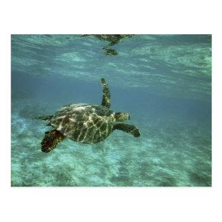 Green Sea Turtle, (Chelonia mydas), Kona Coast, Postcard
