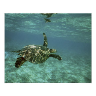 Green Sea Turtle, (Chelonia mydas), Kona Coast, Poster