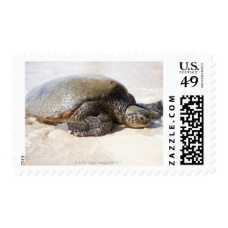 Green sea turtle Chelonia mydas) on the beach in Postage