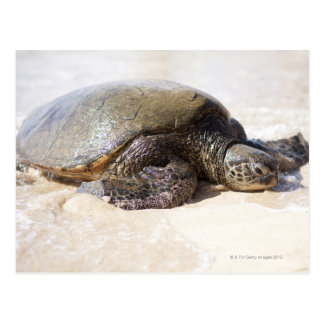 Green sea turtle Chelonia mydas) on the beach in Postcard
