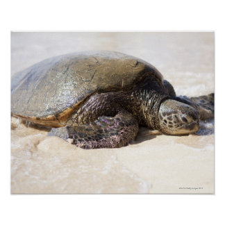 Green sea turtle Chelonia mydas) on the beach in Poster