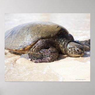 Green sea turtle Chelonia mydas) on the beach in Print