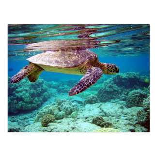 Green sea turtle (Chelonia mydas) Postcard