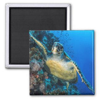 Green Sea Turtle | Red Sea Magnet