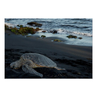 Green sea turtle resting along the shoreline poster