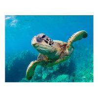 Green Sea Turtle Swimming Over Coral Reef |Hawaii Postcard