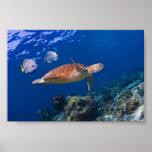 Green Sea Turtle swimming with two Batfish Print