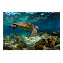 Green sea turtle underwater Galapagos Islands Postcard